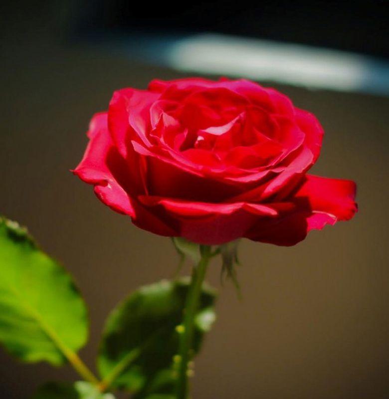 Mengapa Bunga Mawar Mendapat Julukan Ratunya Bunga? - Semua Halaman - Bobo