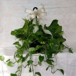 8 Hanging Pothos By Strelitzia Flower Company