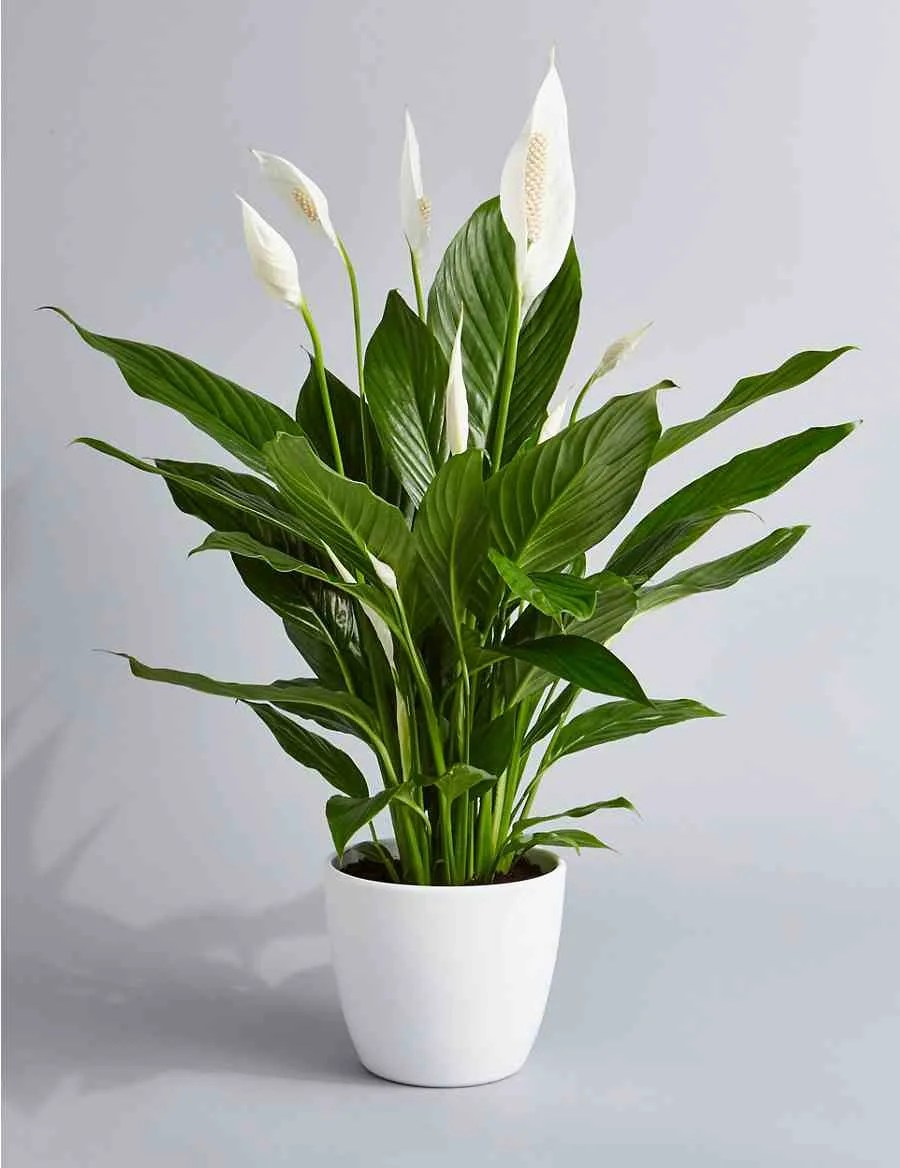 Peace Lily Plant In St Louis Mo Rileys Florist