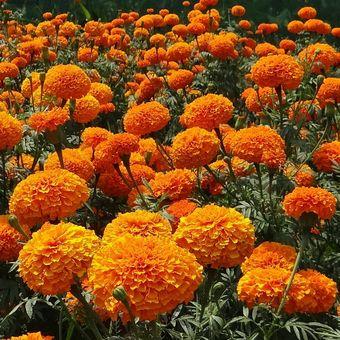Ilustrasi bunga marigold.
