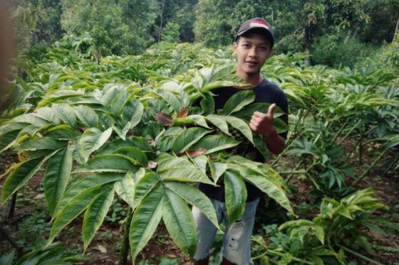 PORANG-Seorang petani muda dari Desa Durenan, Kecamatan Gemarang, Kabupaten Madiun, Jawa Timur memperlihatkan tanaman porang di lahannya.