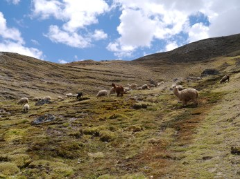 Sheep and Alpaca grazing the highlands above the Accha Alta weaving center.