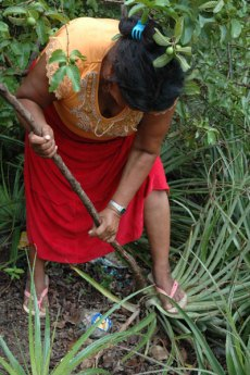Harvesting of dajudie plant is done by women and men of the community. Photo by Ines Hinojosa.