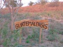 Indigo variety growing on Grace's land - Guatemalensis.