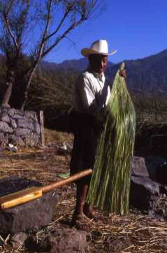 Maguey fiber being pounded.