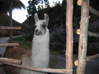 LLamas are curious.