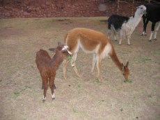 Little vicuña camelids.