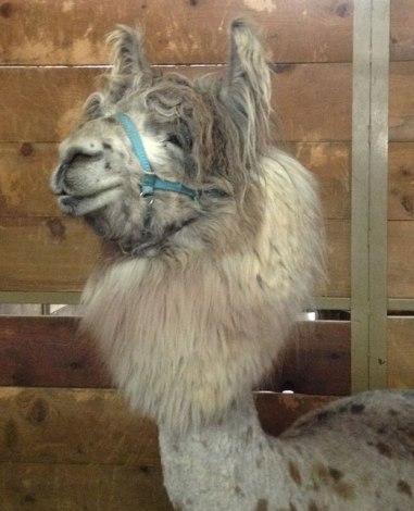 Camelid portrait.