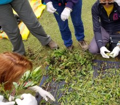 Stripping leaves from the chilka shrub.