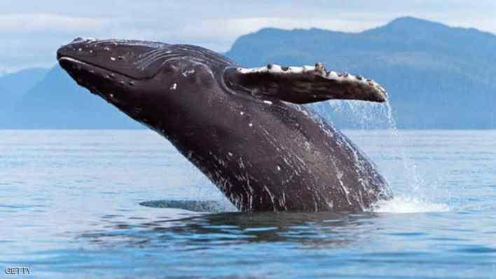 معلومات لا تعرفها عن الحوت الأحدب