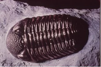 A trilobite fossil in a piece of sandstone