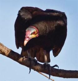 Vulture Eyesight