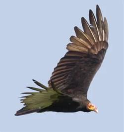 Vulture Soaring