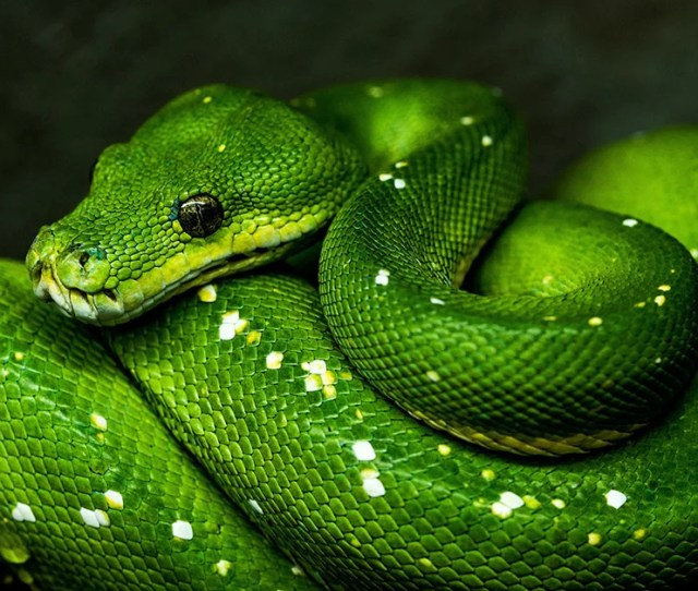 Snakes Appear To Live A Cursed Life Answers In Genesis