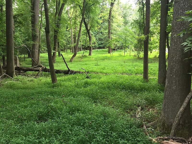 Stiltgrass takes over.