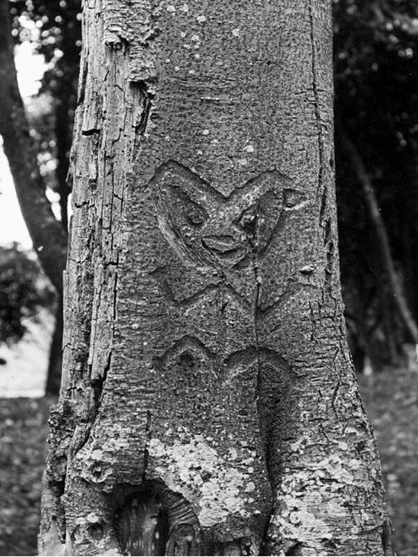 Moriori carved dendroglyphs onto kopi trees, which can still be found on the Chatham Islands. This photograph dates from 1900.