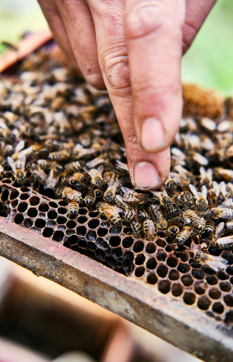 Desrochers searches for the queen bee on a frame from a queen-breeding hive.