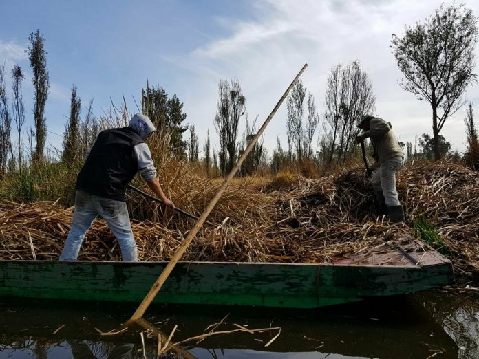 Raúl Mondragón (left) and Pedro Capultitla (right) covering a chinampa in dried grass for mulch.