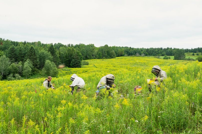 In a field of goldenrod, the beekeeping team collects queen bees. This happens weekly during the season; they are then shipped directly to beekeepers.