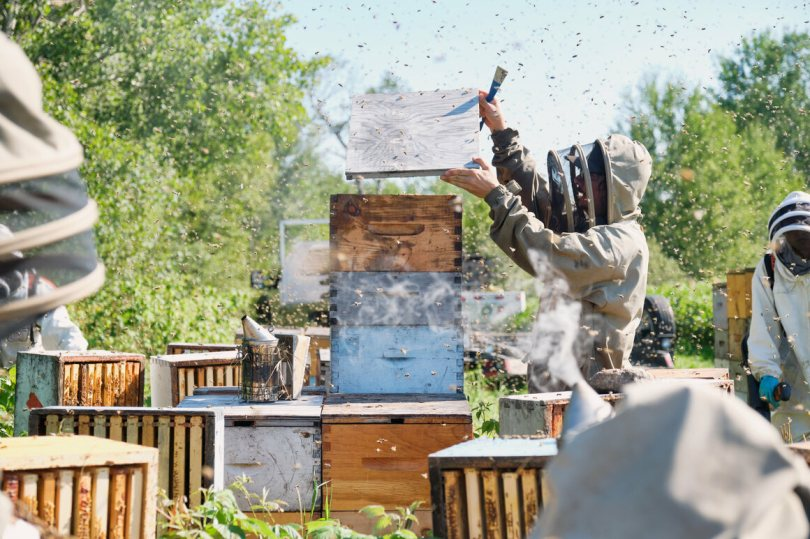 Desrochers and team harvesting honey from a bee-yard. Desrochers is removing the lid to inspect the health of the hive.
