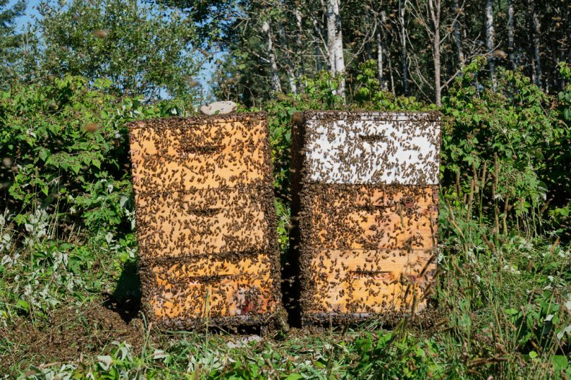 After the honey harvest, the bees swarm around the new hive before reentering.