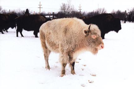 Legendary Albino Buffalo Jamestown North Dakota Atlas