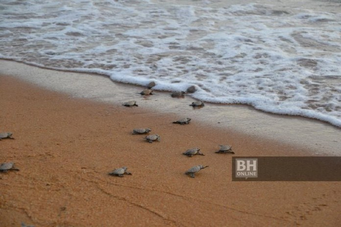 ANAK-ANAK penyu dilepaskan ke laut Melaka - Foto/Hassan Omar