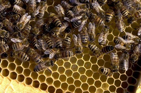 Bees used to pollinate almond trees.
