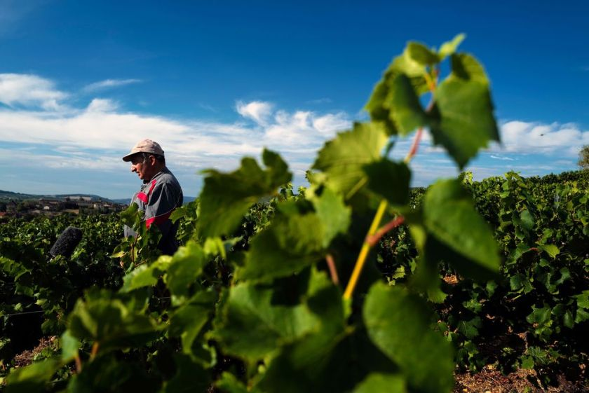 A French winegrower attends the first day of harvest in the vineyard in Ige, near Macon, south Burgundy, on Aug. 12.