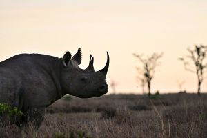 World's First Nature Bond to Track Rhino Numbers in Africa