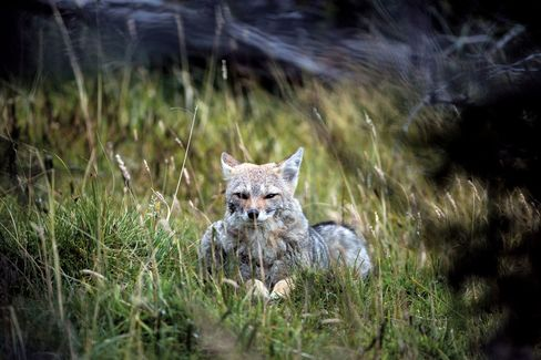 Tracking Pumas In Chile The Most Remote And Exotic Safari