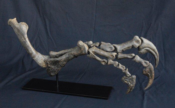 Complete Arm Of An Allosaurus Dinosaur Allosaurus