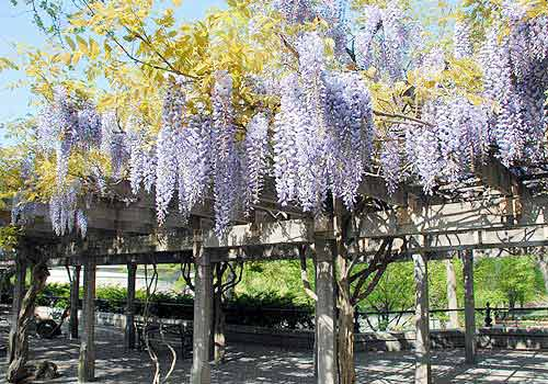 Wisteria Pergola The Official Website Of Central Park Nyc