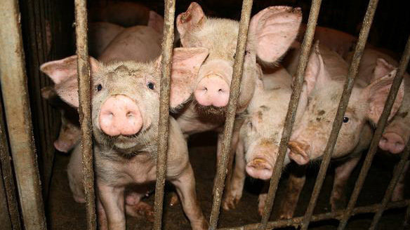 Petition Smithfield STOP PIG ABUSE AND SAVE THE PIGS