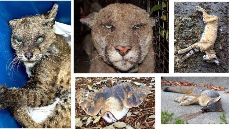 "Petition: DDT-like ""rat poison"" killing wildlife"