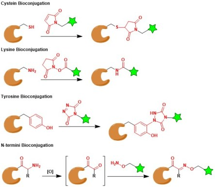 bioconjugation_3.jpg