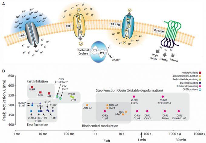 光応答性タンパクの種類・特性(論文[2])