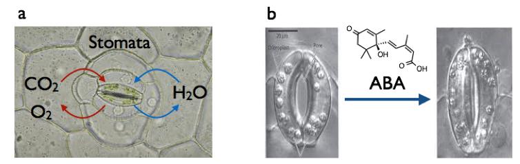 図1 a) 気孔とガス交換、b) ABAによる気孔閉口