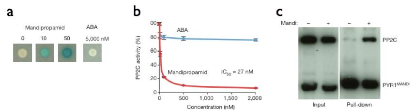図3ABAとPYR1が結合すると脱リン酸化酵素PP2Cと複合体を形成し、PP2Cの脱リン酸化活性を阻害する。a) yeast-two hybrid法を用いたmandipropamide-PYR1MANDI-PP2C形成の評価。複合体が形成されると酵母が青く染まる。 b) PYR1MANDIとmandipropamide存在下のPP2C脱リン酸化活性の評価。c)Pull-down アッセイ。HisタグのついたGFP-PYR1MANDI融合タンパク質とGFP-PP2C融合タンパク質を共発現させたタバコを用いて、葉の抽出液からアフィニティ精製したタンパク質をSDS-PAGEによって分離し、GFP抗体を用いてPYR1とPP2Cを検出している。