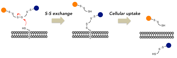 図1 Schematic illustration of a cellular uptake via S-S exchange.