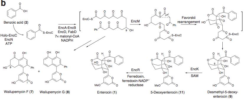 Enterocin-scheme