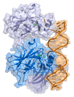 P53遺伝子