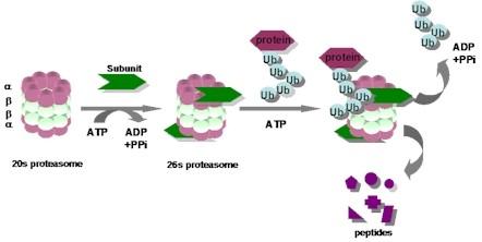 ユビキチン-プロテアソームシステム(その2)