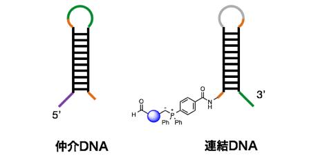 図5 別の仲介DNA、連結DNA