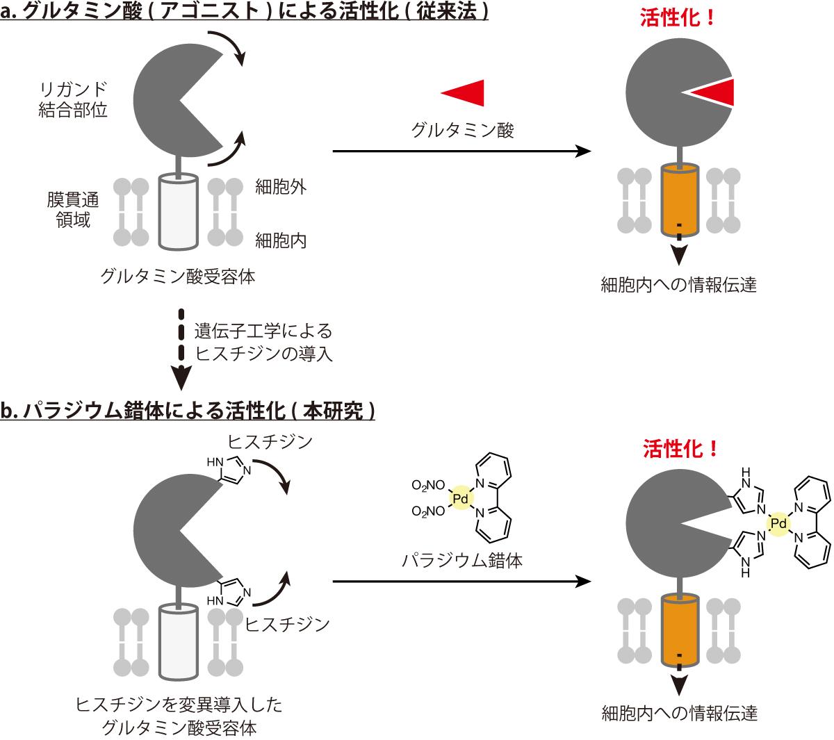 図1:これまでの活性化機構と本研究で提案した活性化手法の模式図