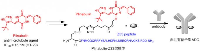 抗体結合ペプチドを用いる非共有結合的抗体-薬物複合体の創製   Chem ...