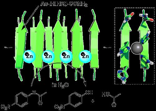 锌螯合型淀粉样纤维触媒的模式图(引文1)