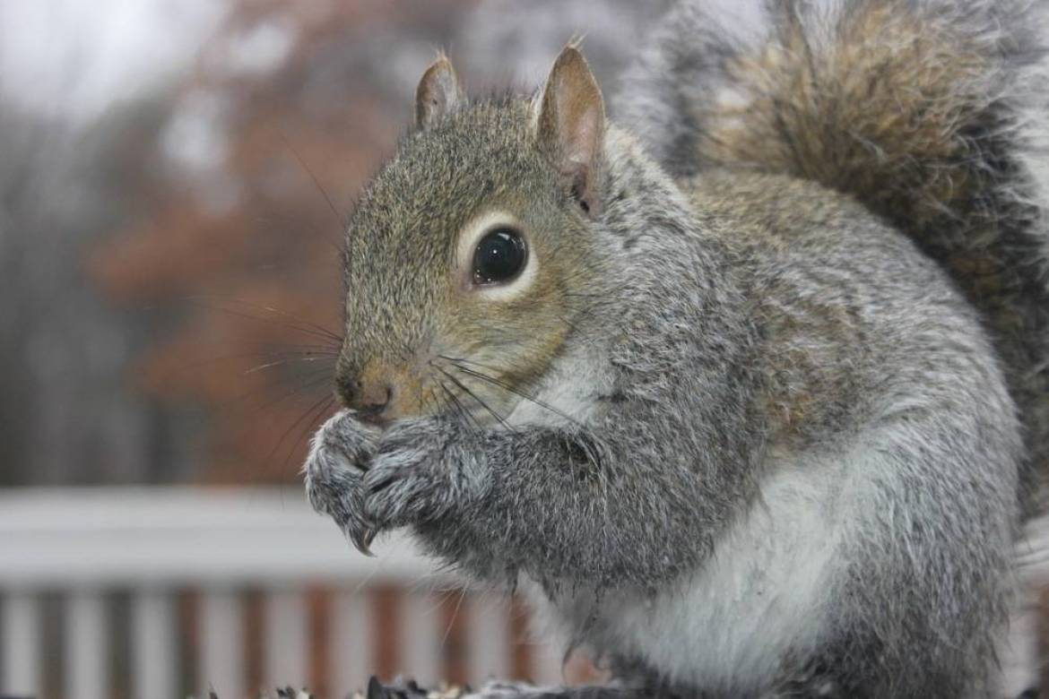 Grey Squirrel chewing a nut