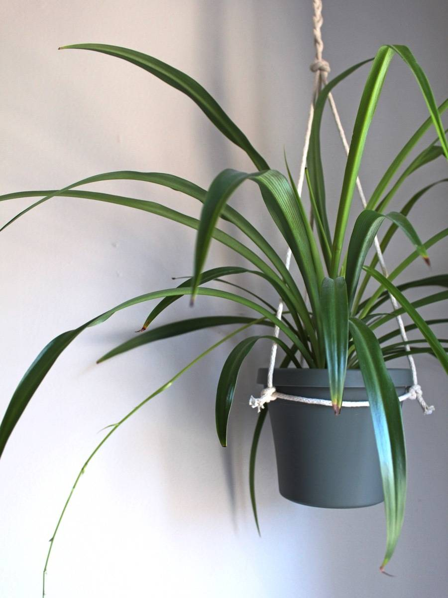 Pet-friendly Houseplants: Spider plants are hearty and tough to kill. Bonus - they're pet-friendly plants!