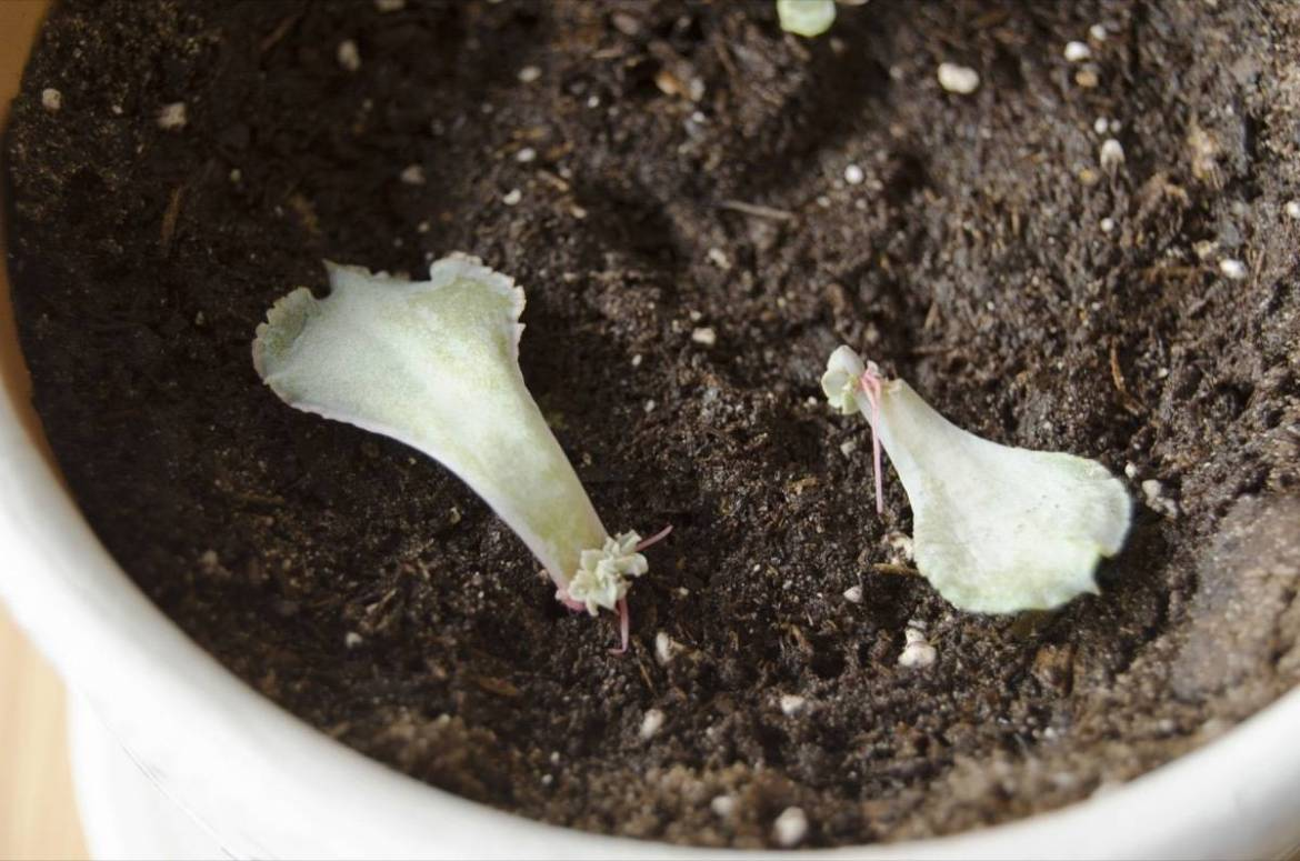 How to regrow succulents | Step 4: Keep moist, sunny, and let grow!